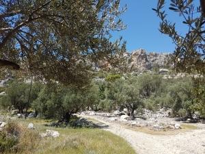 Olivenbäume im Tal