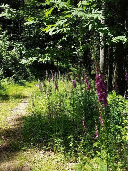 Schöne Wege vorbei am blühenden Fingerhut