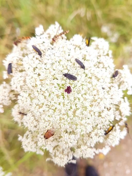 Diverse Insekten auf einer Schafgarbenblüte