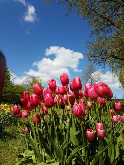 Gräfliche Tulpen